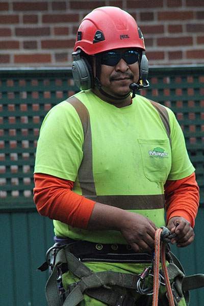 Arborist man wearing hard hat and neon green shirt, wearing harness and ropes